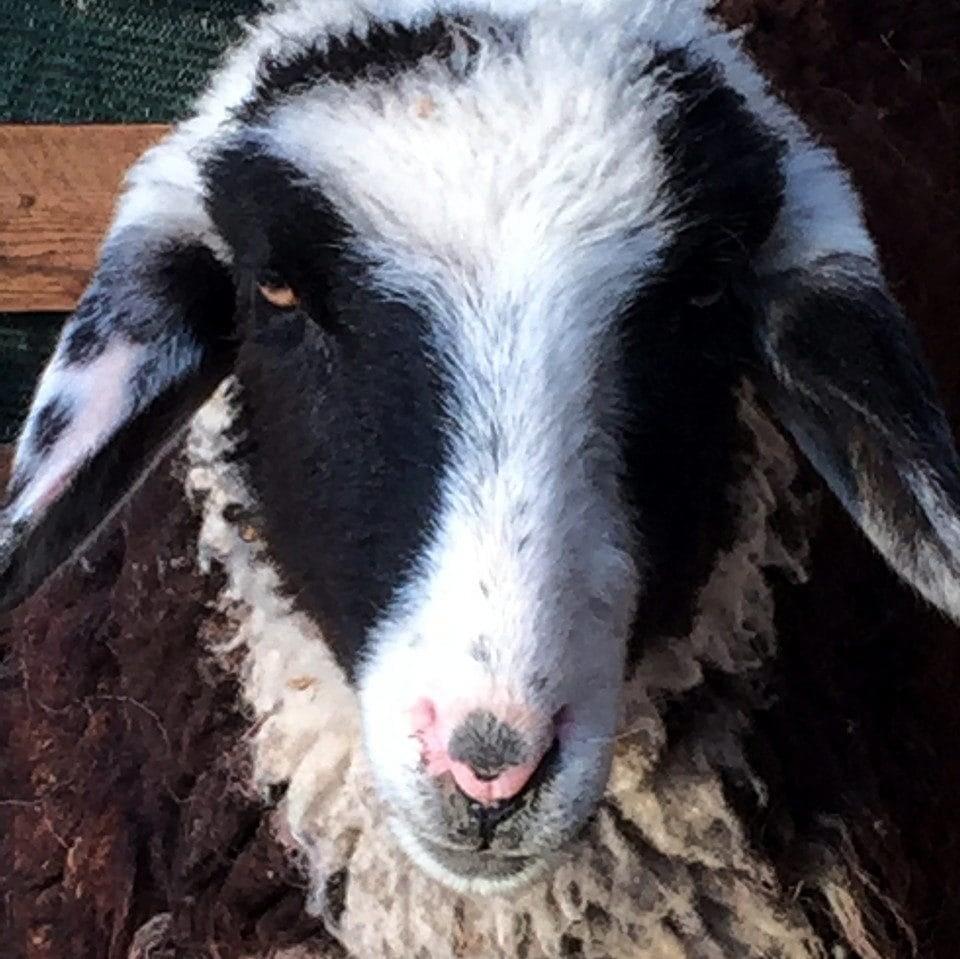 la pecora Chica del Podere Vallescura